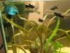 Der neue blaue Kampffisch