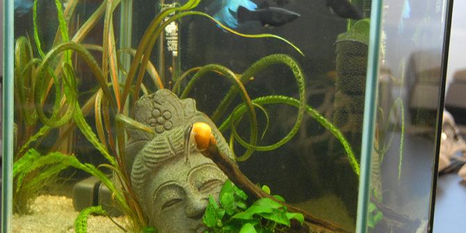 Black Molly: Der schwarze unter den Fischen