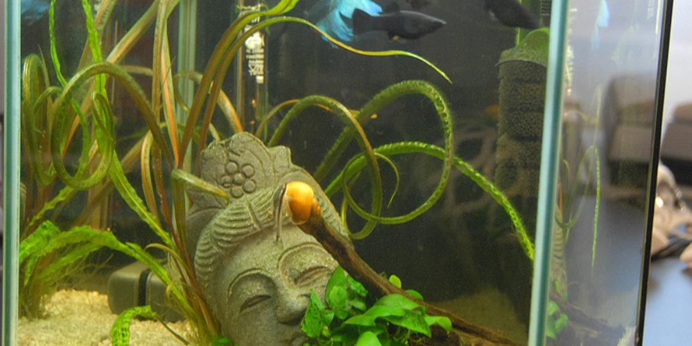 Acquarium mit Black Mollies und Kampffisch
